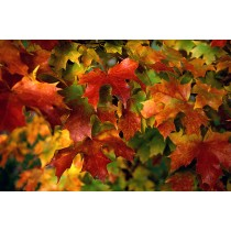 Maple Leaves, Adams County